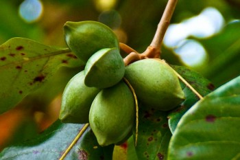 Tropical almond, индийский миндаль или ebeleboh - 17-awesome-benefits-of-the-tropical-almond.jpg