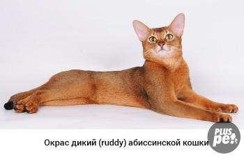 Наши любимые домашние питомцы - 1471790508_dikiy-okras-abissinskoy-koshki.jpg