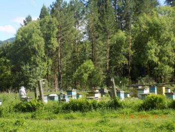 Настоящий Алтайский таёжный мёд - caOB-LMDzgY.jpg